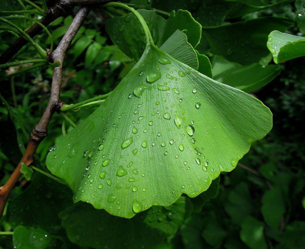 листо от гинко билоба