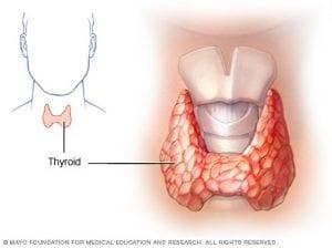 щитовидната жлеза