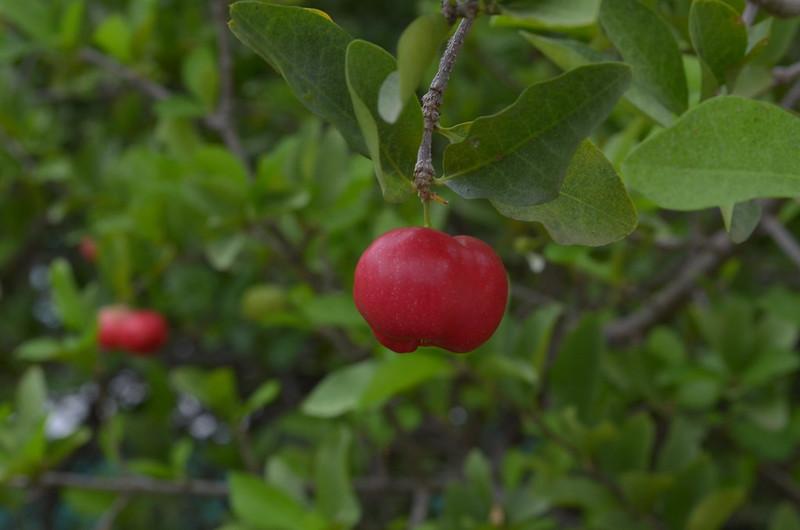 Плод ацерола