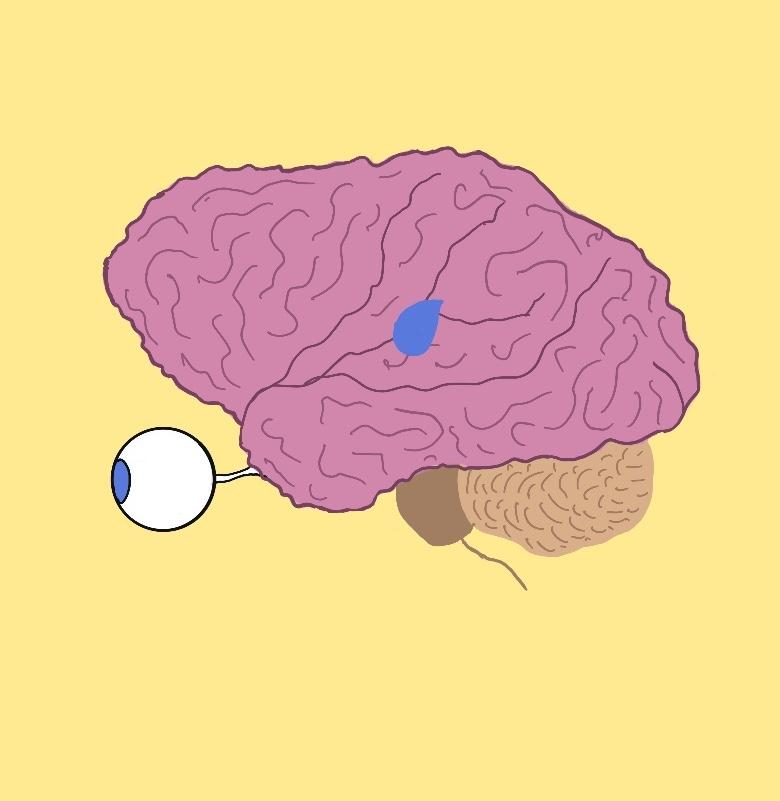 мозък и епифизна жлеза